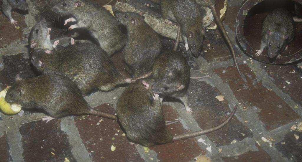 уничтожение крыс в Феодосии